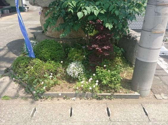 2017年5月 ポピーに似たオレンジ色の花。ナガミヒナゲシ。駆除しました。 ヒルザキツキミソウ17-05-12-11-26-27-089_photo