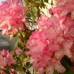 20140427 桶川霊園 石南花 石楠花 シャクナゲDSC_1820
