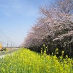 2015年3月30日 桶川霊園の前の桜並木が満開に017